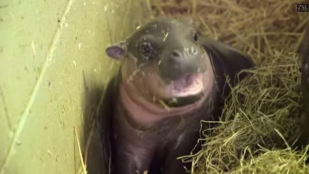 hipopotamo-pigmeo
