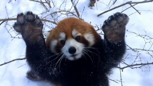 pandas rojo
