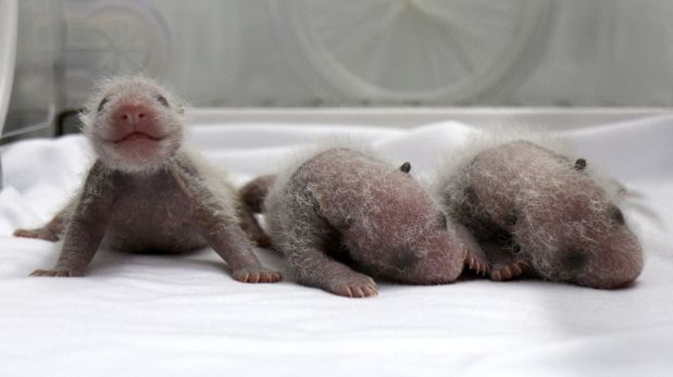 Newborn giant panda triplets are seen inside an incubator at the Chimelong Safari Park in Guangzhou