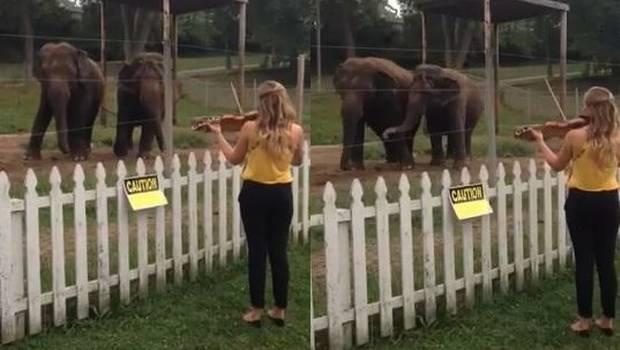 elefantes-bailando-violin